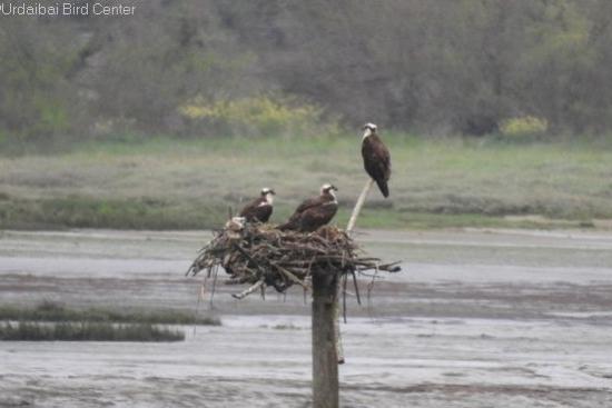 Se forman las primeras parejas de águilas pescadoras en el Cantábrico