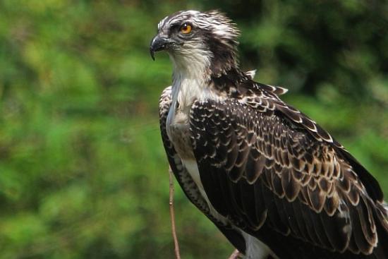 Urdaibai Ospreys-en inguruko ingurumen hezkuntzarako web ataria sortu da