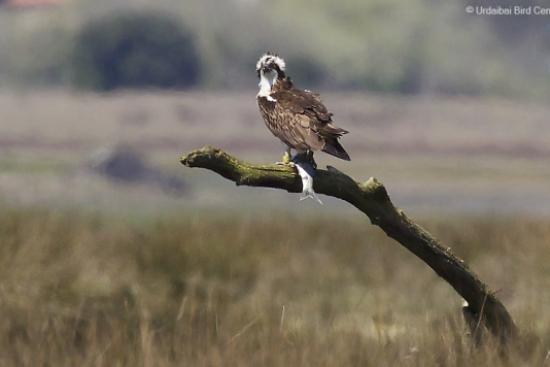 Retornan las águilas pescadoras Roy y Livingstone